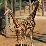 Peter Hellman_Fritt_ Giraffer.jpg