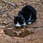 Katt dricker vatten och spegar sig