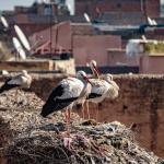 Storkar på tak